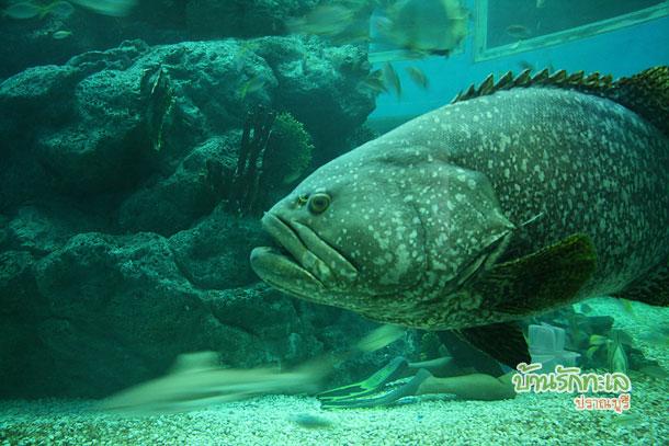 ปลาเก๋า อุทยานวิทยาศาสตร์หว้ากอ ที่เที่ยวประจวบ