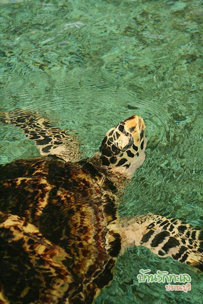 เต่าทะเล อุทยานวิทยาศาสตร์หว้ากอ ที่เที่ยวประจวบ