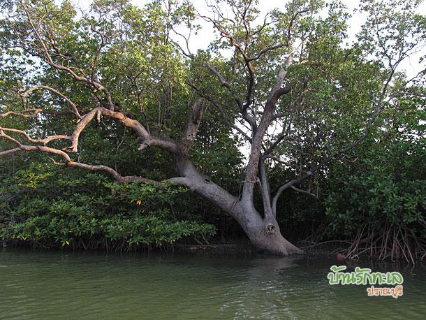 ต้นไม้ร้อยปี ที่เที่ยวปราณบุรี