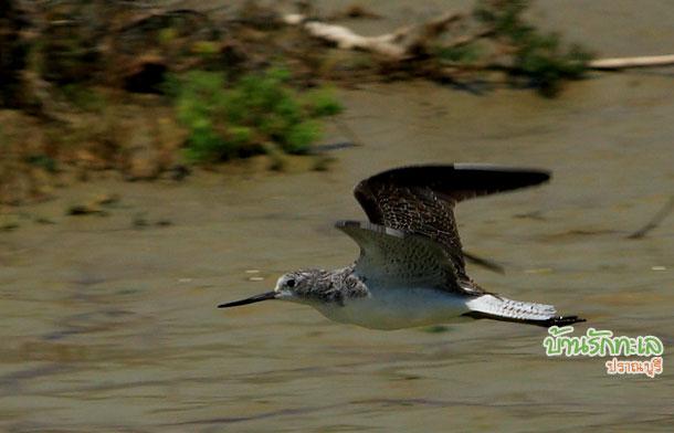 นกสีเทา อุทยานแห่งชาติเขาสามร้อยยอด